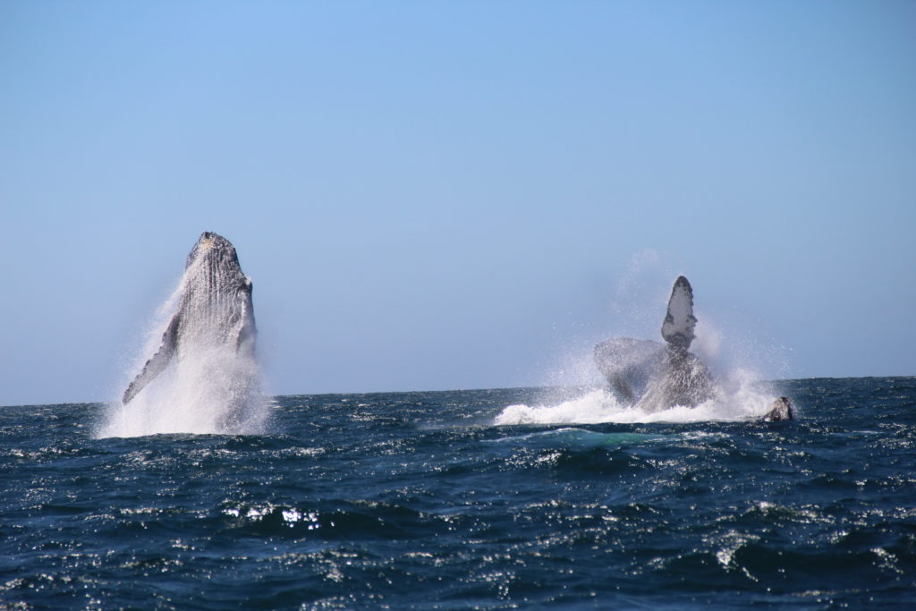Humpbacked Whales